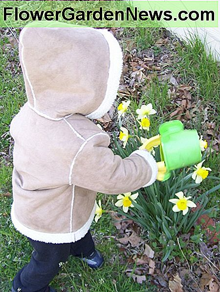 A small watering can makes enjoying the first daffodils of spring more pleasant.