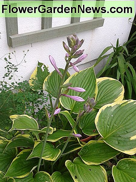 Hostas are mainly popular for their decorative leaves