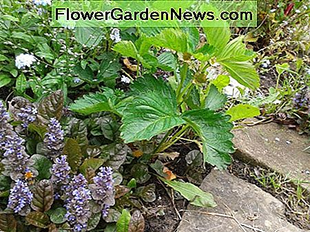 Ajuga in the foreground