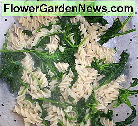 Whole grain pasta with mallow, stinging nettle, sow thistle, and mustard green leaves, all taken from my backyard.