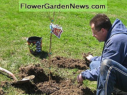 Planting a young peach tree