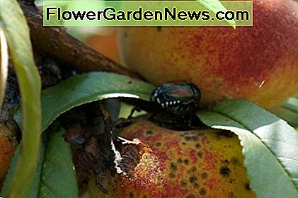 Japanese beetles munch on growing peaches