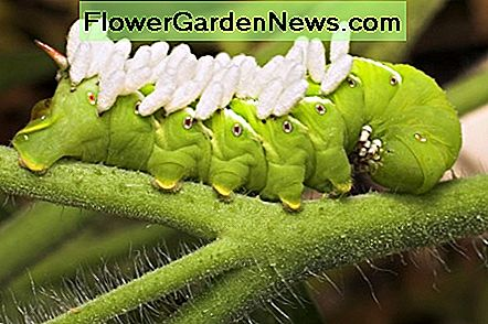 Tomato Hornworm showing the cocoons of a parasitic wasp.