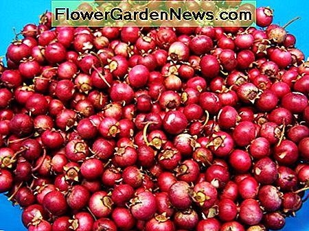 Growing cranberries in the home garden is fun, and pretty easy.