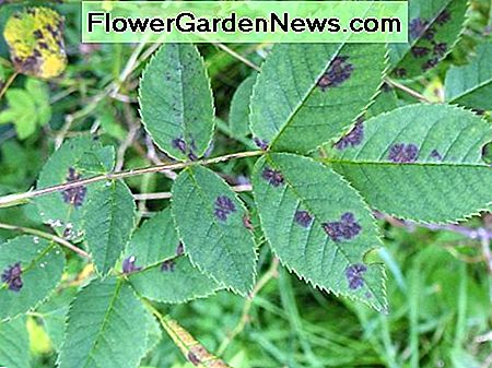 First signs of a black spot infection. Remove these leaves immediately.