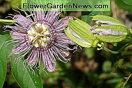 A maypop passion flower - the host plant for the gulf fritillary and other butterflies in Florida!