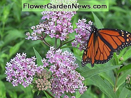 Monarchs use milkweed as their host plant. Here, one is seen perched on blooming milkweed.