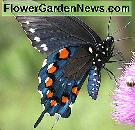 The pipevine swallowtail is easy to attract to your butterfly garden by planting its host plant - pipe vine.