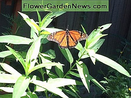 A photo of a monarch on my milkweed plants in the garden. The monarch butterfly hosts its eggs and larvae on milkweed.