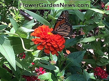 Host plants are required for a healthy, thriving butterfly garden in Florida.