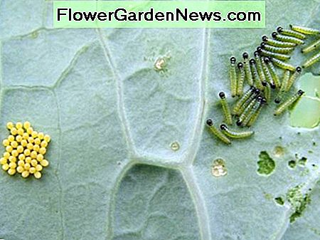 Cabbage worms and eggs.