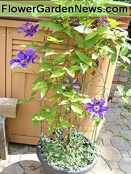 Clematis are commonly planted in the ground but can also be grown in a pot like the one pictured here.
