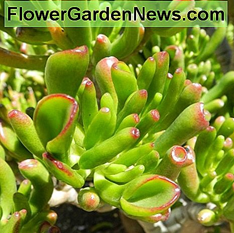 Close up of the Crassula ovata 'gollum'.
