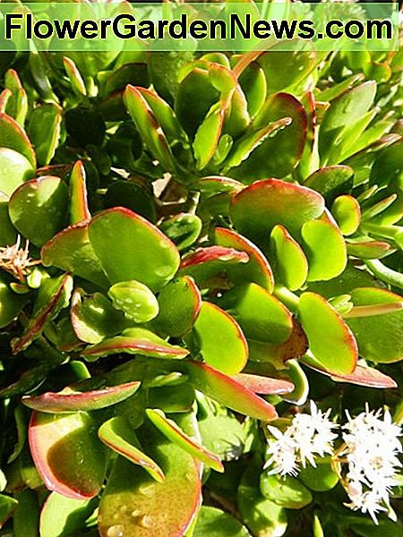 Jade Plant close up with flowers