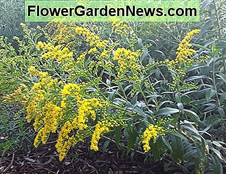Goldenrod is always abuzz with a variety of polinators. It gets a bad rap because it blooms at the same time as ragweed, a fierce alergen.