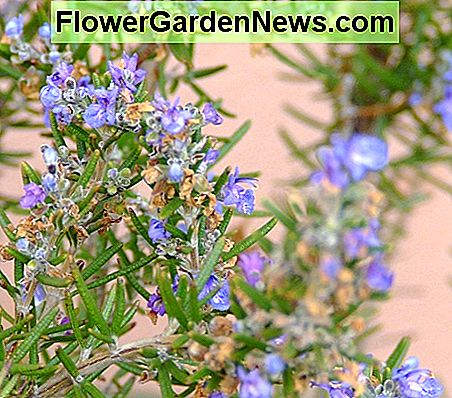 Rosemary is great for natural pest control - Plant around your veggie garden or scatter the leaves around plants that insects are attacking.