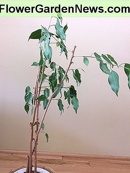 Side view of ficus Benji that has been placed against a wall: see how one side reaches toward the light. Pruning the protruding stems could help balance out the appearance of this plant.