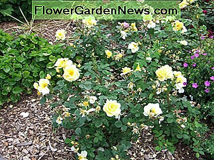 By pruning the inside of your rose bush, it will allow air to circulate and you will have more flower growth.