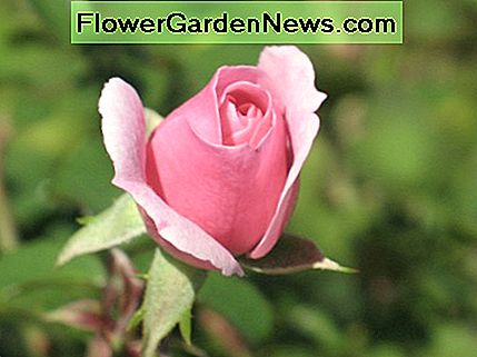 By pruning your rose bushes properly, you will produce beautiful roses.
