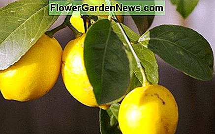 Bonsai lemon tree