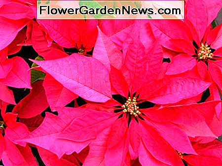 Red poinsettias are the most popular.