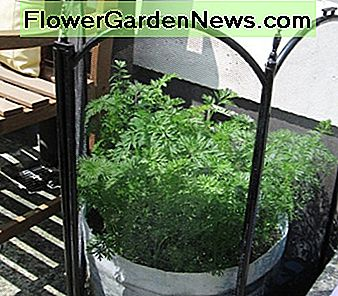 Healthy Carrot Plants