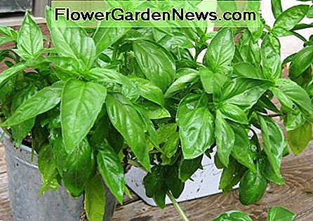 Herbs do very well also in pots, as long as they have enough light and water, like this basil.