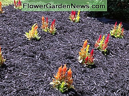 Multicolored Celosia flowers (this is how the flowers will look after mulching).