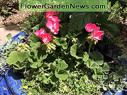 Geraniums are perfect for container gardening.