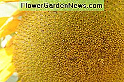 Over Sunflowers-Grow Sunflower Plant