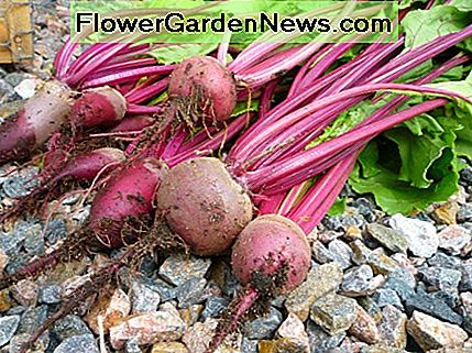 Growing beets in a container is a great way to harvest bountiful yields!