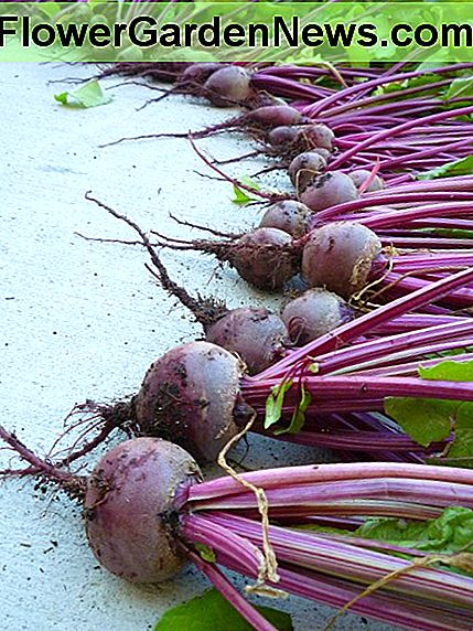 Beets harvested from two raised bed garden containers.