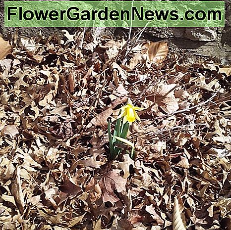 Flowering bed by retaining leaves with first spring flowers popping out of a pile of leaves