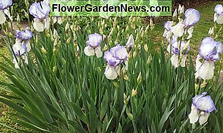 Irises blooming in mid-spring