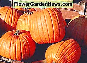 Pumpkin Growers Swear by liquid seaweed fertilizer.