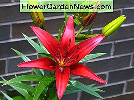 This red asiatic lily is a deep rich color that I just absolutely love. How gorgeous!