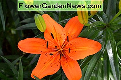 Open bright orange lily with new buds on their way.