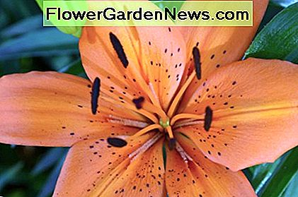 Orange lilies are very eyecatching in the garden. I simply loved this color.
