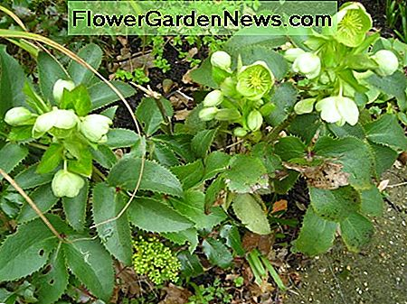 Hellebore has a long flowering period from late winter to late spring.