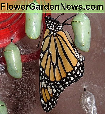 Freshly emerged Monarch Butterfly and chrysalises
