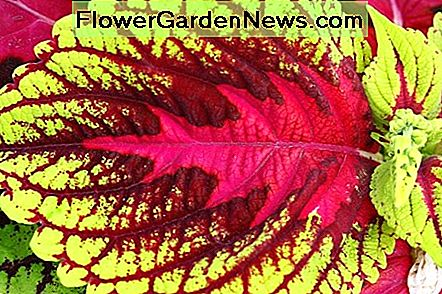 A close-up photo of a patterned coleus leaf; the red pattern in the center reminds me of a Christmas tree