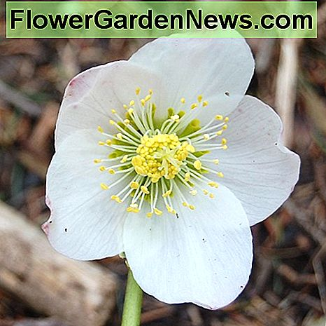 A flower of the Christmas rose, or Helleborus niger