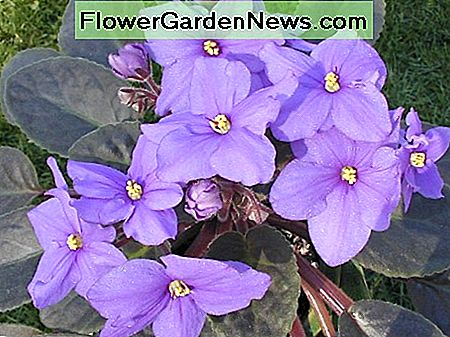 An African violet in bloom