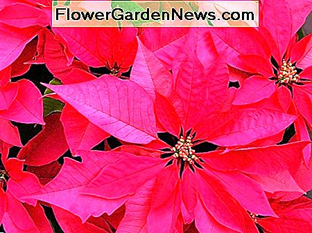 Poinsettia is a plant that was once considered to be very poisonous but is now classified as non-toxic or only mildly toxic.