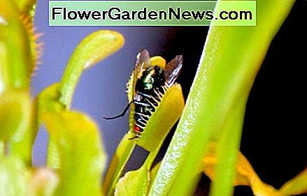 Fly trapped in a hungry carnivore plant.