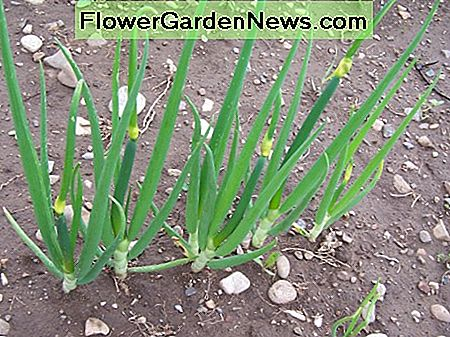 Planted in the fall, the onions are ready for use before most of the garden can be planted.