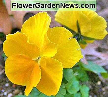 Crystal Bowl, Dynamite & Ultima are among the series of pansy hybrids that produce large flowers.