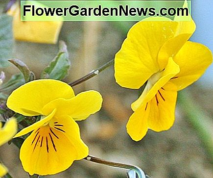 This semi-trailing pansy hybrid has hooking stems & relatively small flowers.