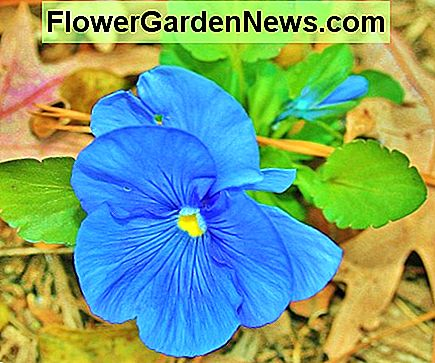 Universal pansies tolerate extemely hot and extremely cold temperatures.