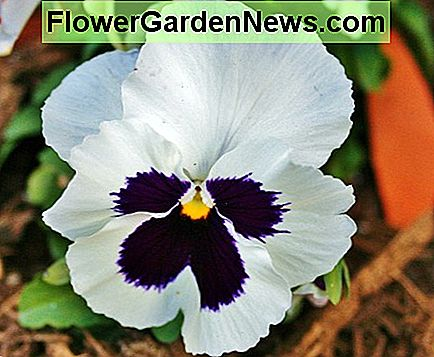 Hybrid pansies, like the one pictured above, often have distinct